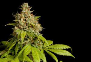 Figura 04A. Flor de cannabis - planta fêmea