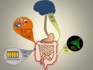 Canabinoides intestino