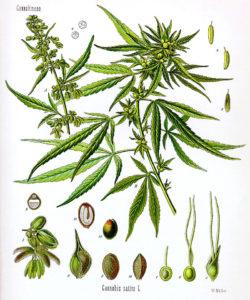 Figura 01. Família Cannabaceae.